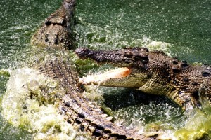 Crocs fighting Kakadu National Park